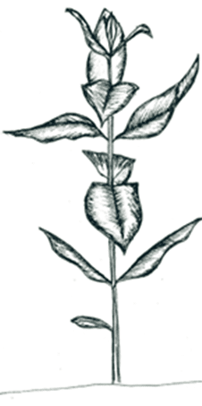 A sketch of a common milkweed plant.