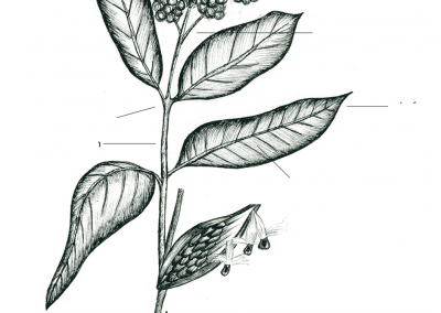 3. Milkweed, a Critical Food Source for Monarchs