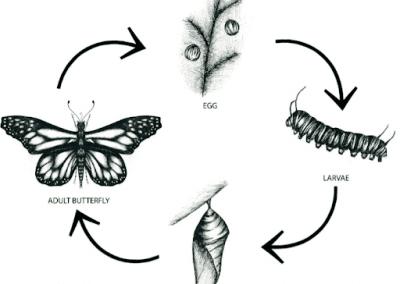 2. Monarch Population Decline Debate