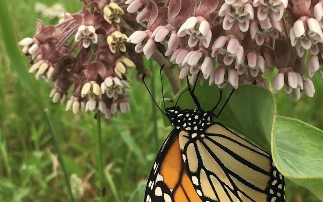 Pollinator observations on Milkweed
