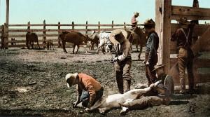 800px-Colorado_-_Branding_Calves_c._1900
